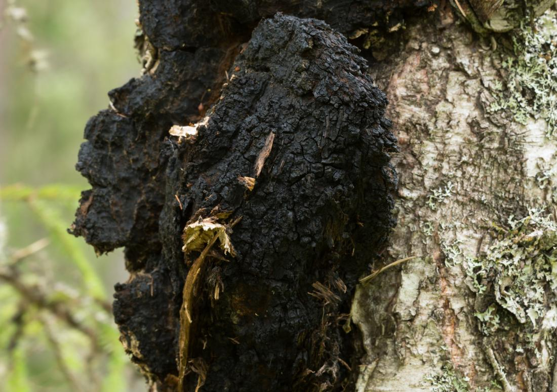 Chaga mushroom / Image source: Medical News Today