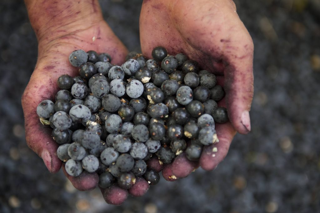 Handful of acai berries / Image source: Mayo Clinic News Network